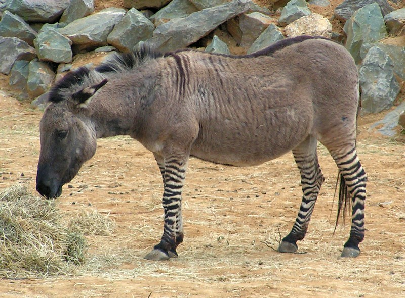 Photo of FIRENZE – Nato lo zonkey Ippo, incrocio zebra-asina