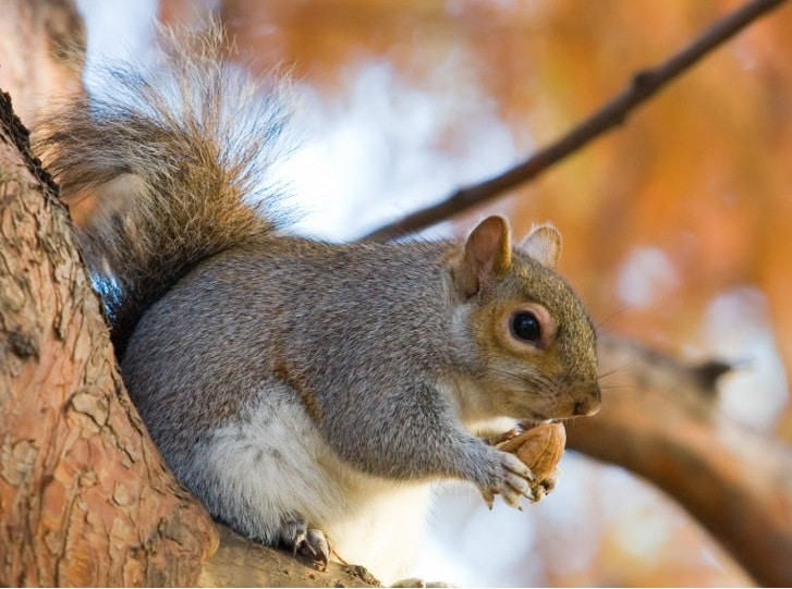 scoiattolo grigio brambilla