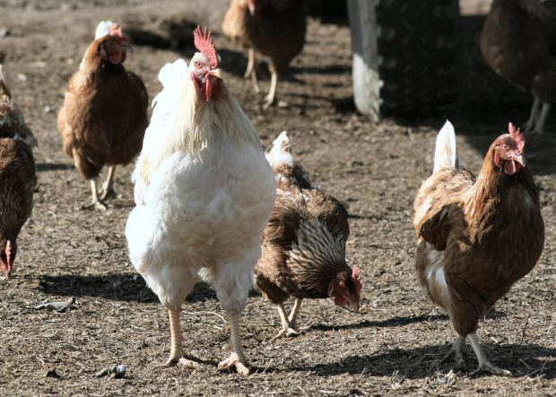 Photo of VERSILIA – Muore carbonizzato nel pollaio