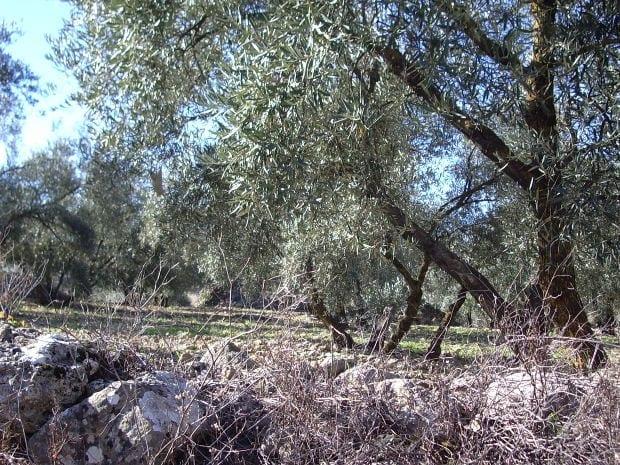 ulivi olio