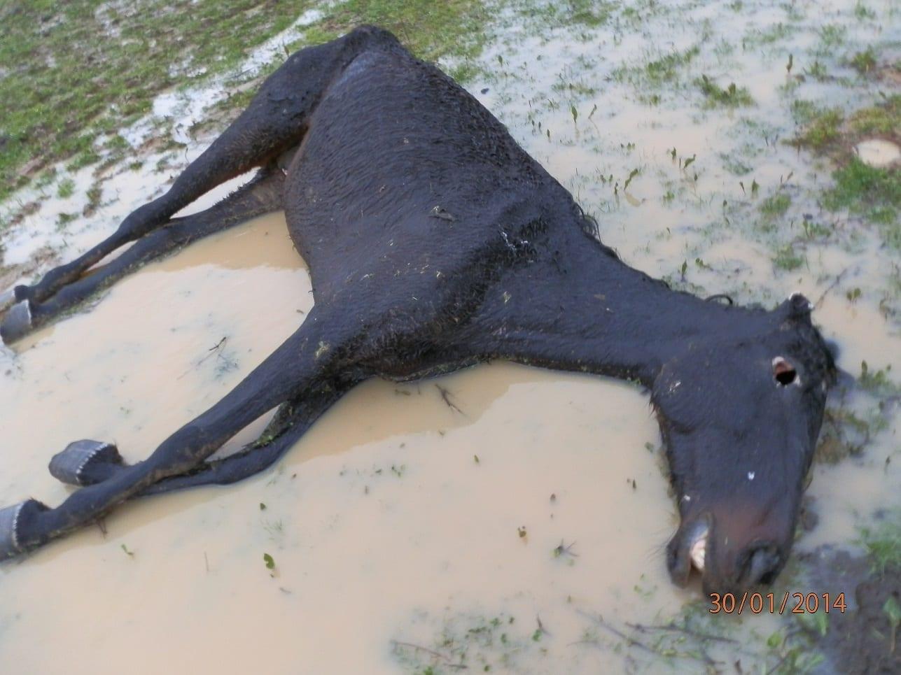 Uno dei due cavalli di razza maremmana trovati morti