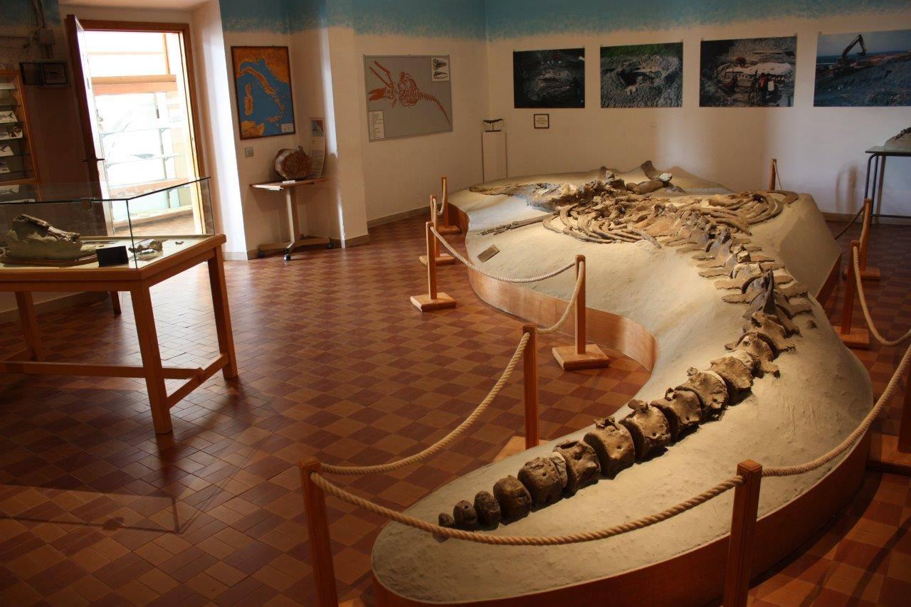 La balena fossile rinvenuta a Castelfiorentino esposta al Gamps (foto tratta da Facebook)