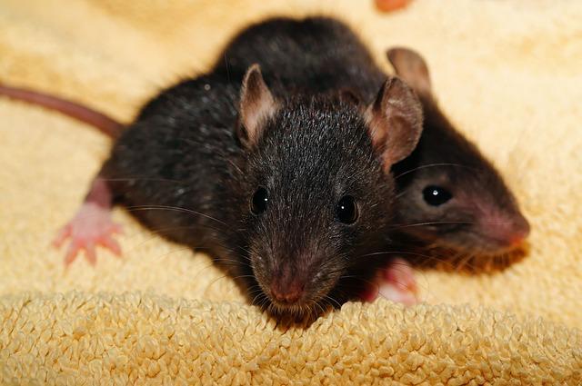 topo ratto