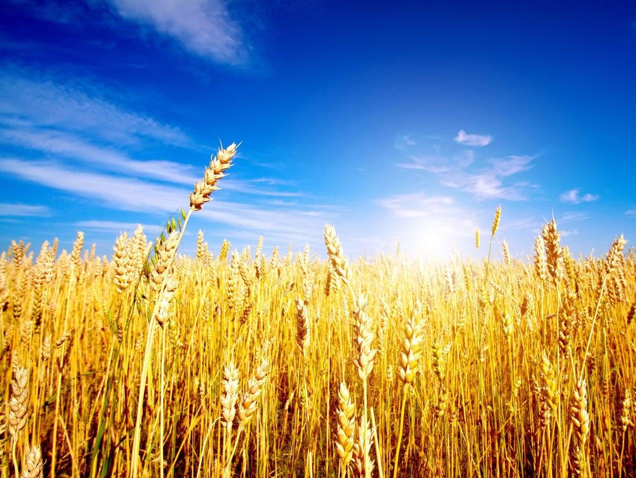 Photo of AGRICOLTURA – Precipita il prezzo del grano, allarme di Confagricoltura