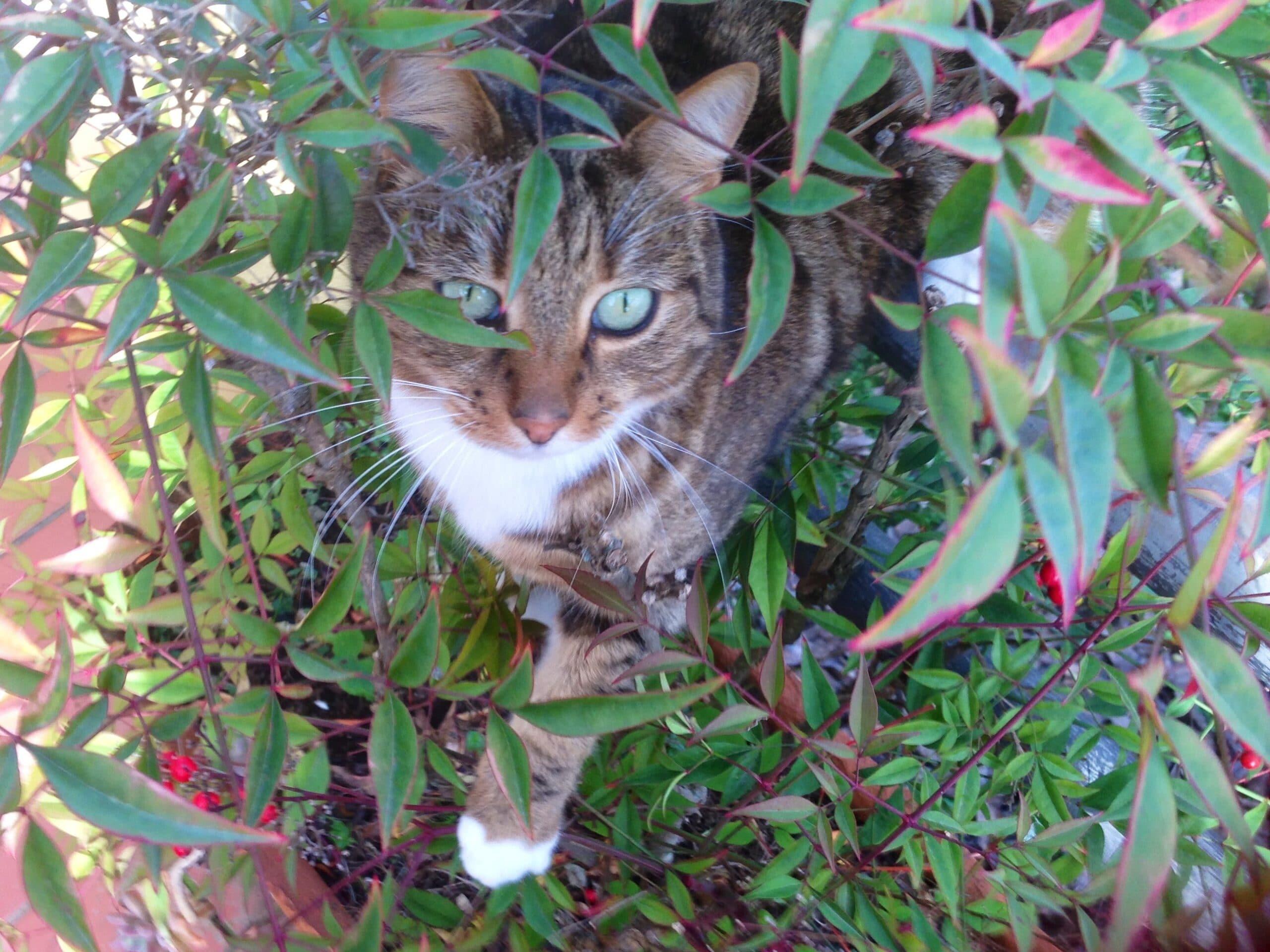 gatto_tigre_domestico