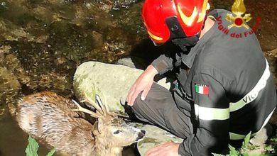 Photo of Capriolo ferito soccorso dai Vigili del Fuoco di Pistoia