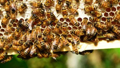 Photo of Apicoltura, approvate le azioni per migliorare il miele toscano