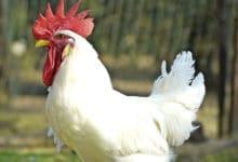 Photo of Il pollo valdarnese bianco al Rural Market di Parma