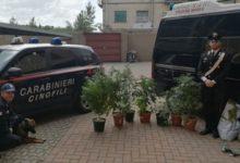 Photo of AREZZO – Tre persone segnalate, una arresta ed una denunciata per droga