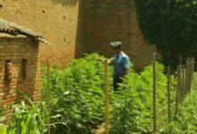 Photo of SIENA – Coltivava droga nell'orto, arrestato 57enne di Montepulciano