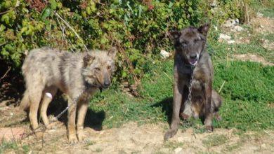 Photo of Cani maltrattati, legati con catene e pieni di parassiti. Denunciato un uomo di Pisa