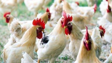 Photo of Il Ministero delle Politiche Agricole certifica l'eccellenza delle carni bianche cortonesi