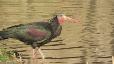 Photo of Bracconaggio: ucciso a fucilate un raro Ibis eremita