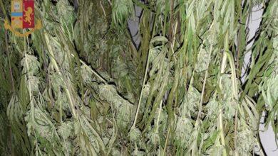 Photo of FIRENZE – Denunciato un 55enne fiorentino che coltivava ed essiccava piante di marijuana a casa dei genitori a Campi Bisenzio