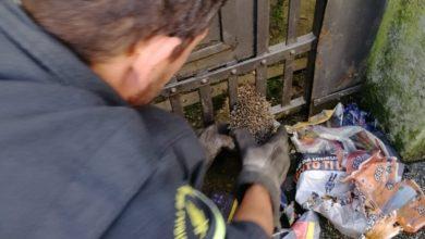 Photo of PRATO – Riccio incastrato in un cancello, il salvataggio dei Vigili del Fuoco