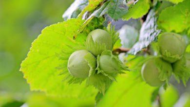 Photo of AREZZO – Le nocciole della Ferrero saranno coltivate in Valdichiana