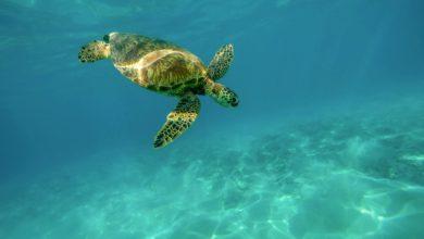 Photo of LIVORNO – Con la tartaruga alla scoperta delle Secche della Meloria