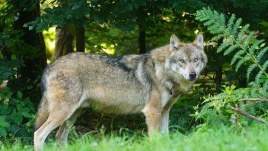 Photo of SAN GIMIGNANO – Cerca funghi nel bosco, ma incontra un lupo