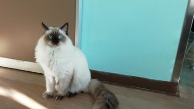 Photo of AREZZO – Un gatto ragdoll per la pet therapy in Ospedale