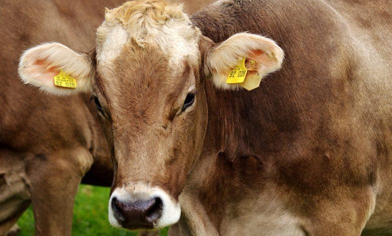 cow 2782461 1280