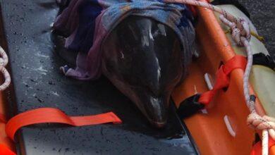 Photo of LIVORNO – Delfino femmina arenata in spiaggia, il piccolo salvato dai Vigili del Fuoco