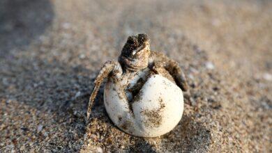 Photo of VERSILIA – L'arte a sostegno dell'ambiente: una donazione per le tartarughe marine