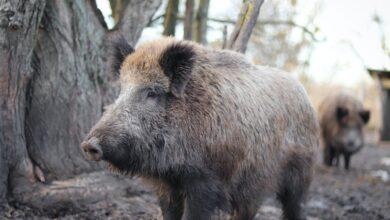 Photo of Coldiretti bacchetta la Regione Toscana: disattese promesse agli agricoltori su fauna selvatica