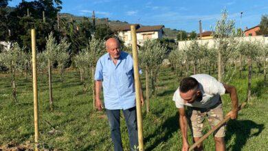 """Photo of PESCIA – """"FC Pescia 01"""", la pianta d'olivo Leccio del Corno iscritta nel Registro nazionale delle varietà"""