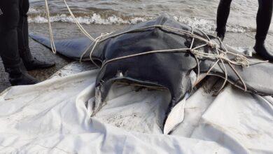 Photo of PIOMBINO – Manta spiaggiata, l'intervento di rimozione della carcassa