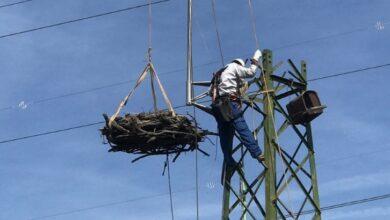 Photo of PIOMBINO- All'Oasi di Orti Bottagone intervento su traliccio per nidificazione falco pescatore