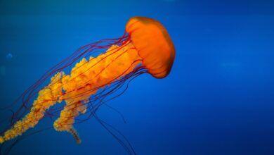 jellyfish 918694 1280