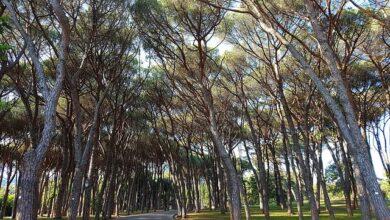 pine 1390993 480